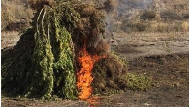 Nearly 700 pounds of marijuana destroyed after removal from illegal grow in Colorado