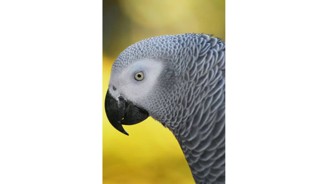 Zoo Knoxville celebrates African grey parrots 30th birthday WATE