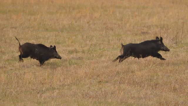 video and photos feral hogs in the smokies