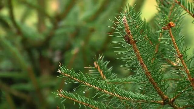 Up to 25,000 bugs could be living in your Christmas tree