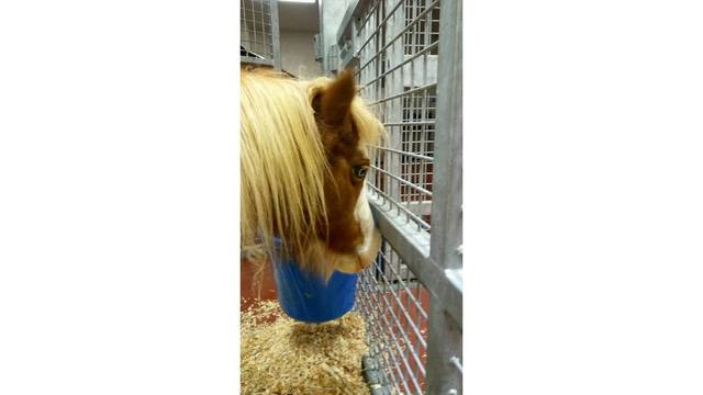 One mini horse recovering after being struck by car, 3 other animals dead