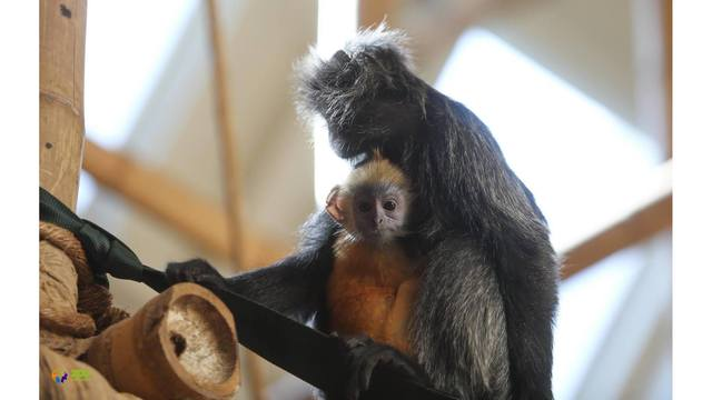 Zoo Knoxville announces name for baby langur