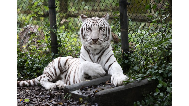 zoo knoxville announces death of kali the tiger