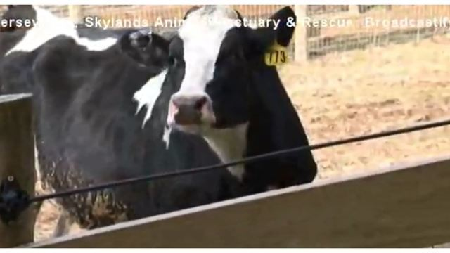 Cow destined for slaughterhouse escapes truck